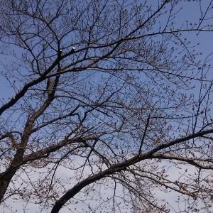 文化会館の桜